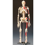 Large Numbered Skeleton Study Aid